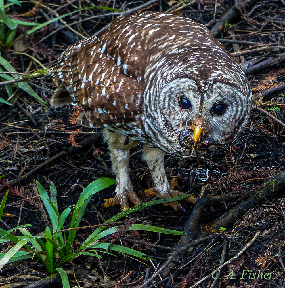 Barred Owl with Scorpian