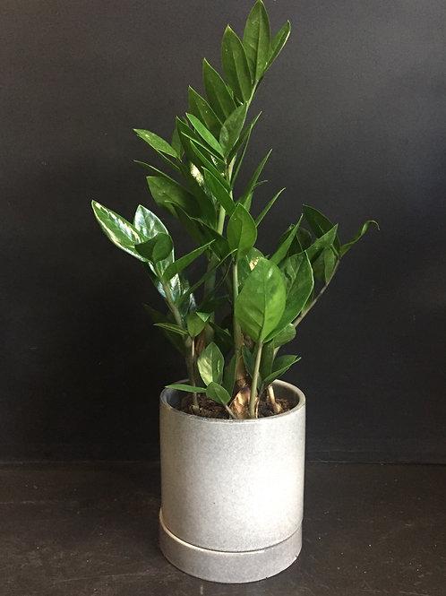 Zanzibar Gem (ZZ Plant) in Ceramic Pot