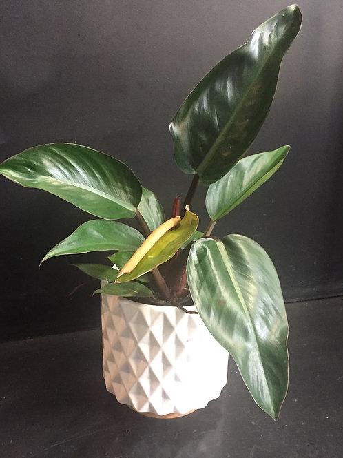 Philodendron Rojo Congo in Ceramic Pot