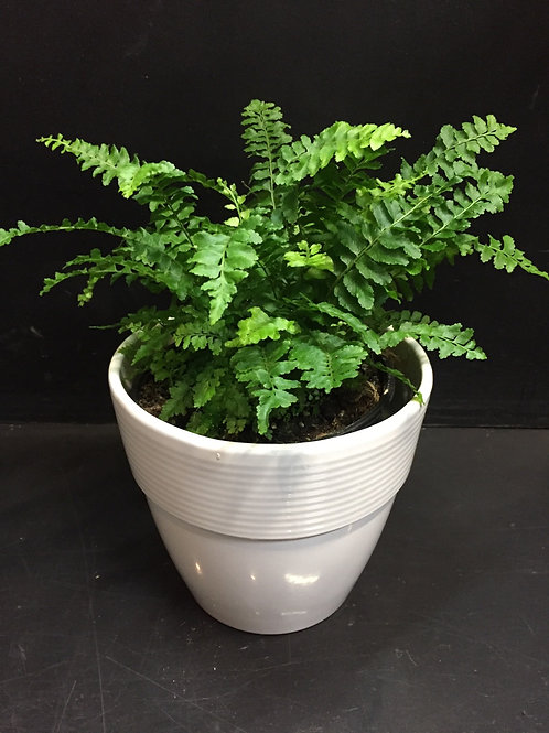 Mini Boston Fern in ceramic pot