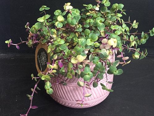 Pink Bubbles in ceramic pot