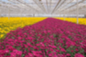 Advanced Dutch greenhouse with colorful Chrysanthemums ready for harvest.jpg