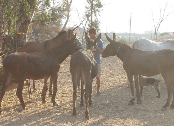 Full cost of 1 donkey (For one month)