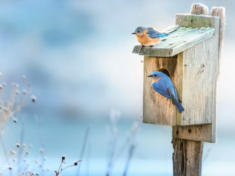 Ways to Help Bluebirds
