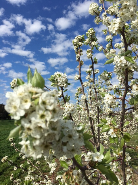 Our ornamental pear out on our farm
