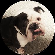 Bulldog snaggletooth