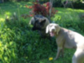 Dogs in yard