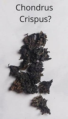 Different-Types-of-Sea-Moss-6 (2).jpg