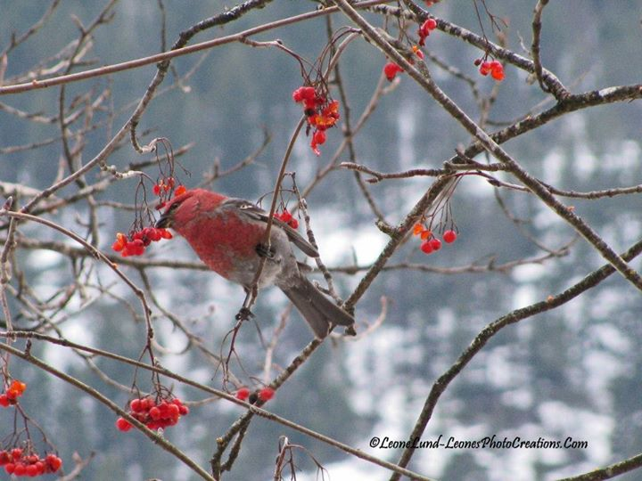 Facebook - Pine Grosbeak and Mountain Ash Berries
