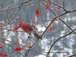 Facebook - Pine Grosbeak and Mountain Ash Berries