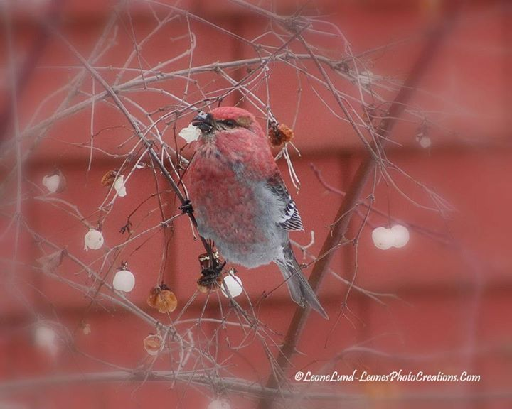 Facebook - Pine Grosbeak and Snow Berries