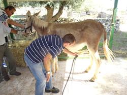 Milking a donkey for panacotta!