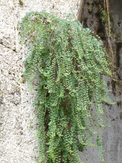 Sicilian wild growing capers!