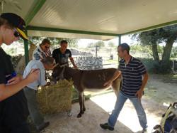 Chef milking the donkey!