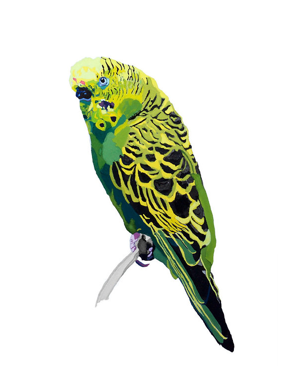 Parakeet_yellow.jpg