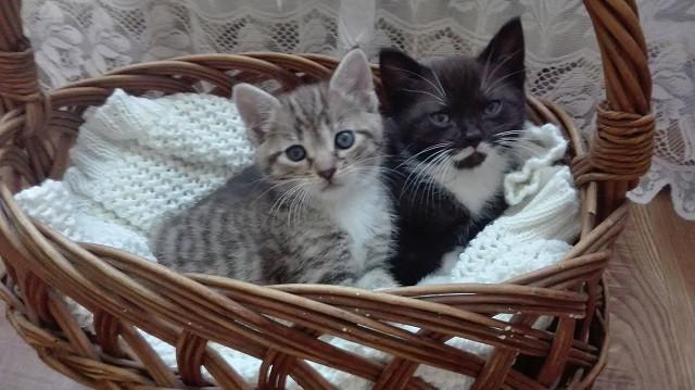 Małe kotki w koszyku
