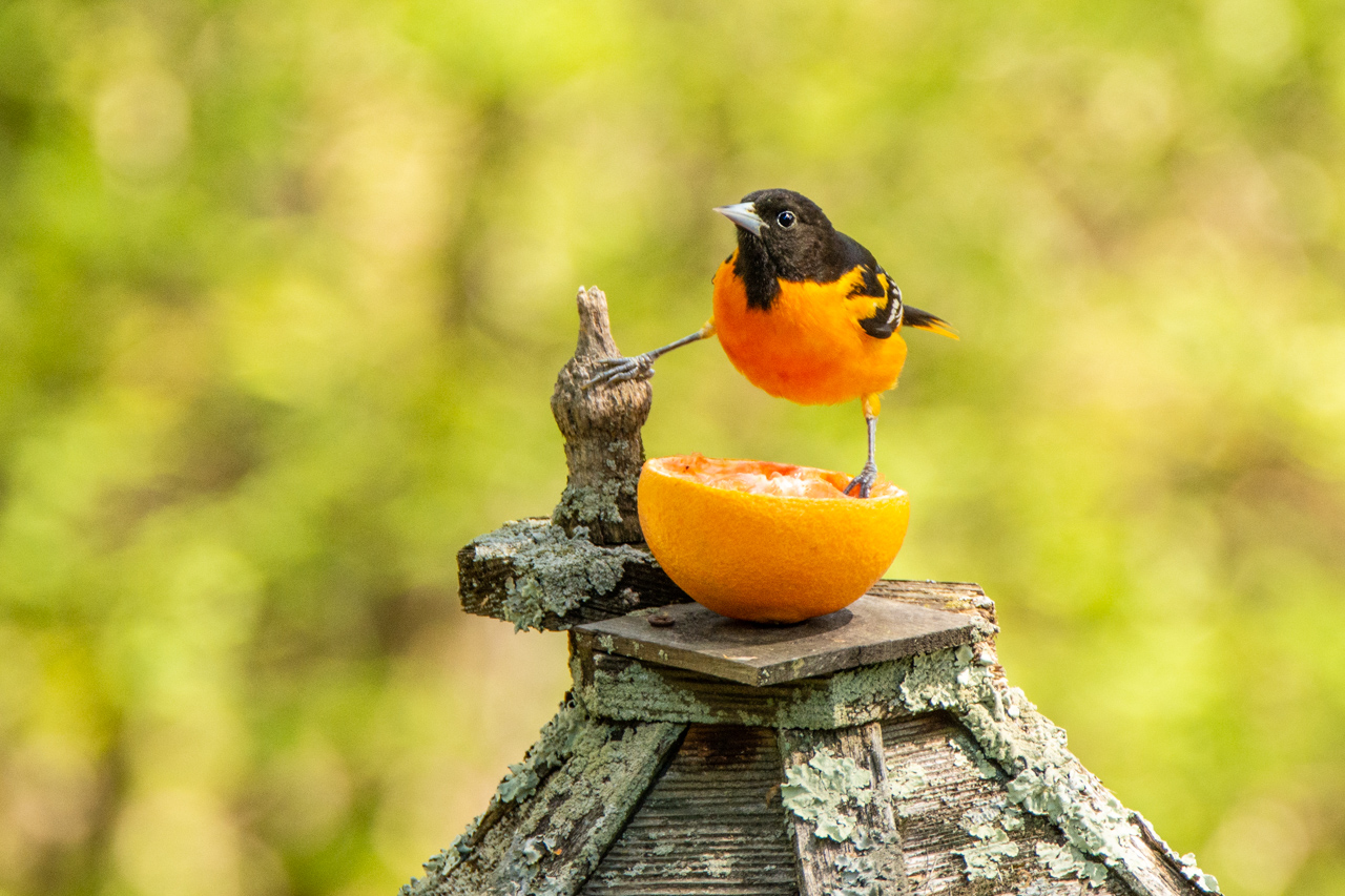 Oriole breakfast