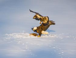 Eagles on carcass