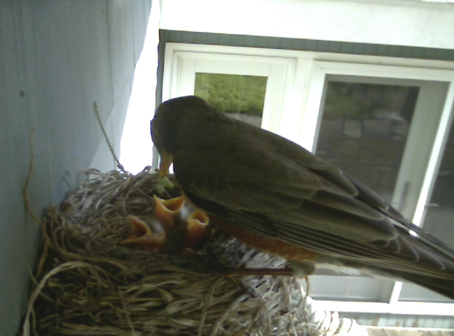 Robin feeding babies