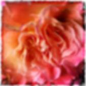 Sinnlich Rose