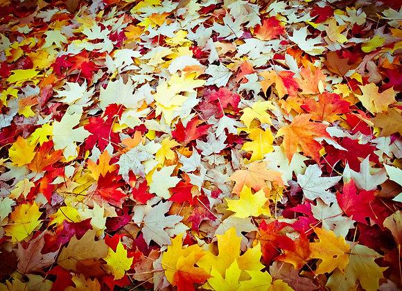 Autumn Leaves, Bright, Victoria