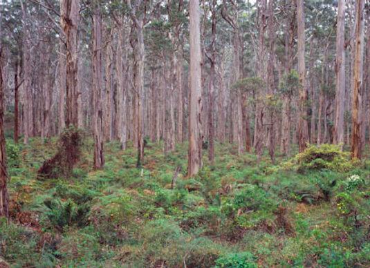 Boranup Karri Forest, Western Australia.