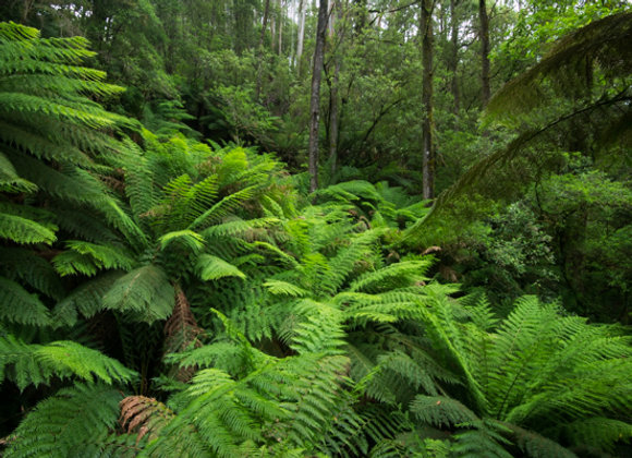 Otway Ranges Victoria, Australia.