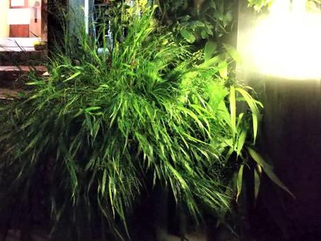 玄関の盆栽