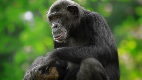 Chimpanzee tracking in the adjacent Kaniyo-Pabidi Forest