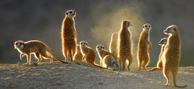 Meet the meerkats of the Kalahari