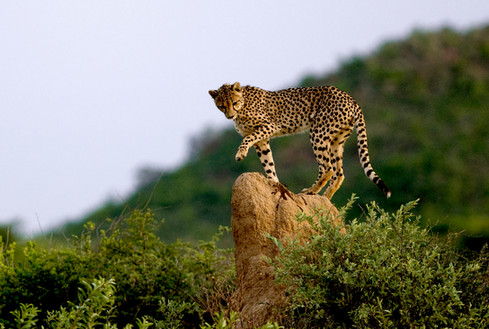 Learn about Okonjima's AfriCat conservation project