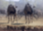 Wildebeests_WorkCover.png