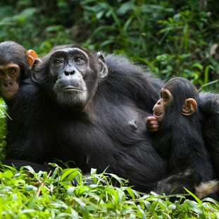 Chimpanzee trekking in Nyungwe Forest