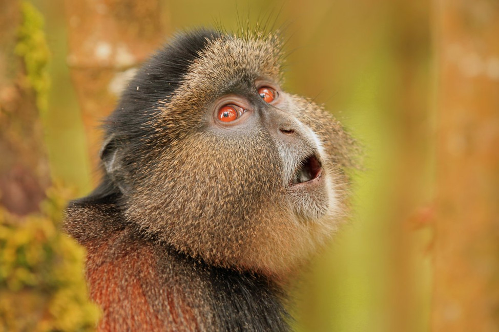 Track and admire the endangered Golden Monkeys