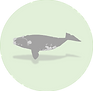 Southern Right whale.png