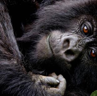 Gorilla & Golden Monkey tracking