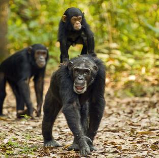 Chimpanzee trekking in Gombe Stream National Park