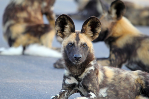 Learn about the Painted Dog Project Centre