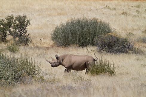 Track the endangered black rhino on foot