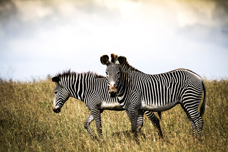 Half the world's population of Grevy's zebras reside here
