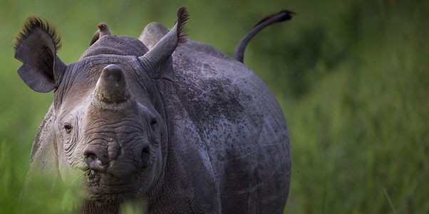 Rhino conservation projects