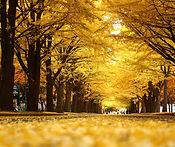 Gingko Avenue Sapporo.jpg