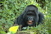 gorilla-tracking.jpg