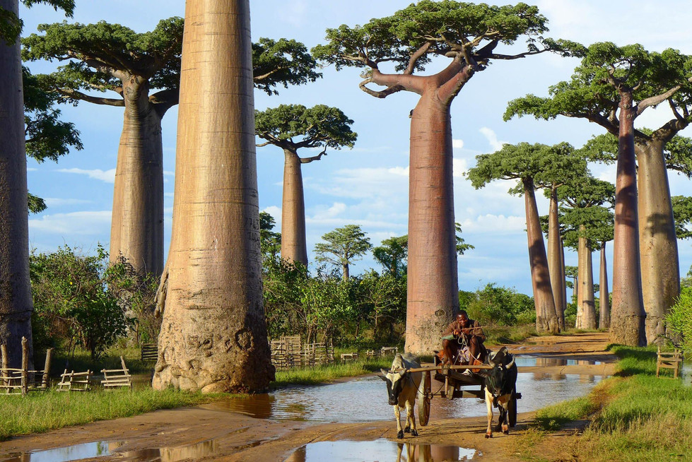 Dividing opinions aside, the Avenue of the Baobabs remain an iconic image of Madagascar