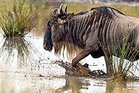 nws-st-wildlife-wildebeest.jpg