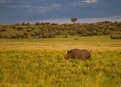 Rhino-Kenya-Masai-Mara-Rekero Camp-HR 2.