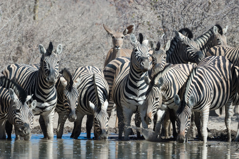 Rich game viewing in Etosha's waterholes