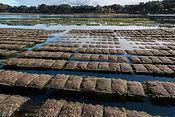 Carnac oyster au rythme des marees.jpg