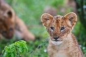 Lion-cub-Masai-Mara.jpg