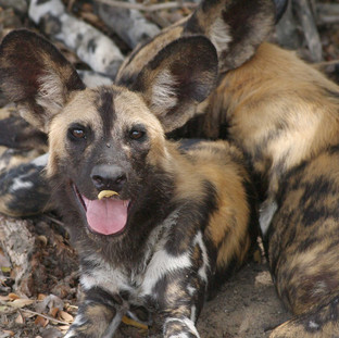 The Painted Dog conservation in Hwange National Park